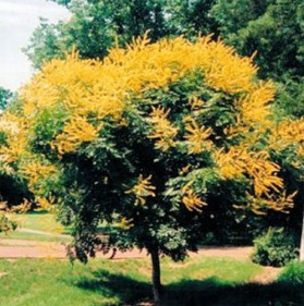 GOLDEN-RAIN-TREE