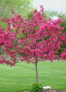 INDIAN-SUMMER-CRABAPPLE