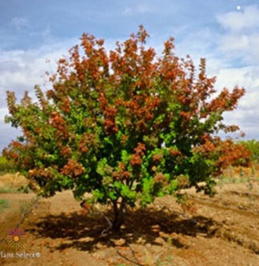 Ornamental Trees For Fort Collins At Just Trees Fort