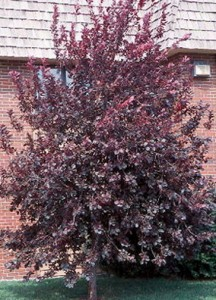 RED-CANADIAN-CHOKECHERRY