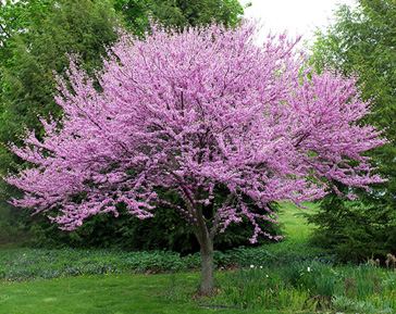Ornamental trees for fort collins at just trees fort Small flowering trees