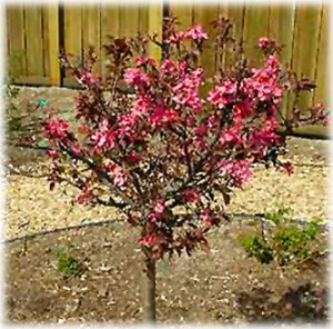 ROYAL-GEM-CRABAPPLE