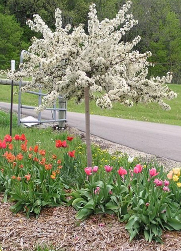 Dwarf ornamental trees zone 5 images for Trees that stay small